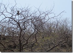 Langur in tree