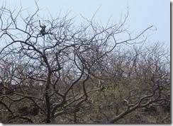 Langur in tree