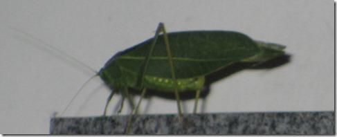 Nosebiter grasshopper