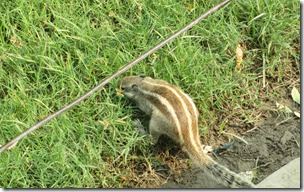 Cheekius Illegitimi, the carnivorous chipmunk of Uttar Pradesh