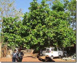 Morgan and Kim beneath giant cashew tree